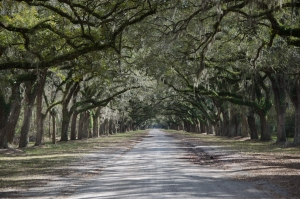 plantation-avenue-of-trees-1418561-page